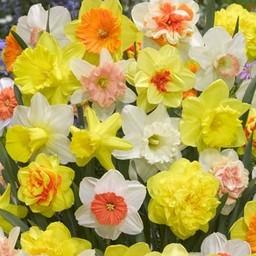miks-narcissov-75-dnej-ot-tulip-store[1]